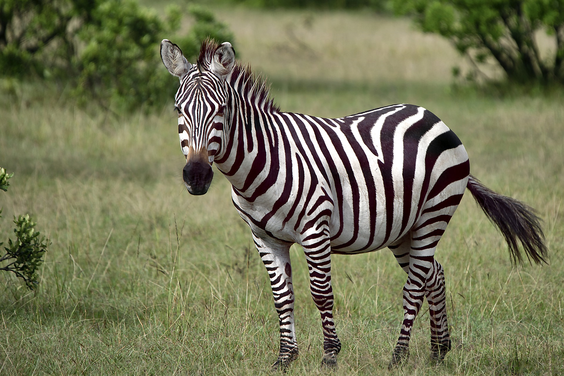 Group of zebras evading capture in Maryland - ABC News